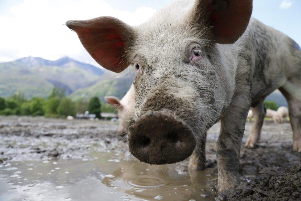 L'eau et l'industrie porcine