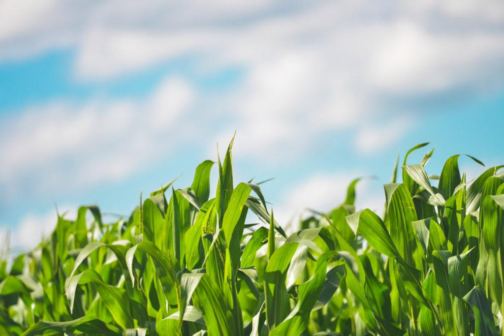 Les vertus fertilisantes du lisier – le potassium