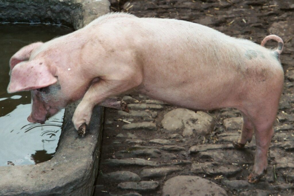 Treating pig slurry to extract clean water